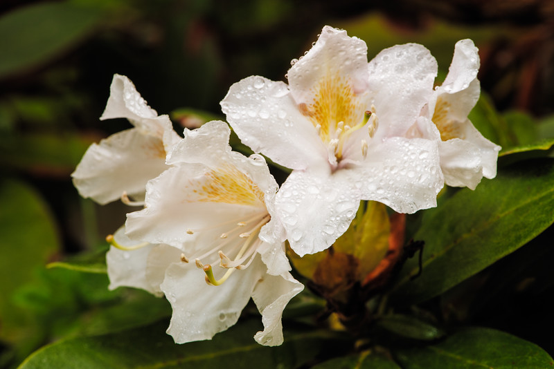 - Listen to the Rhododendron
