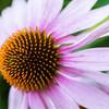 - Echinacea angustifolia