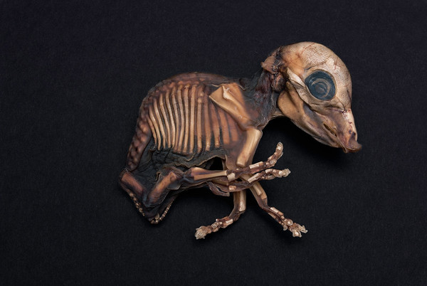 Decesitated Pig Fetus