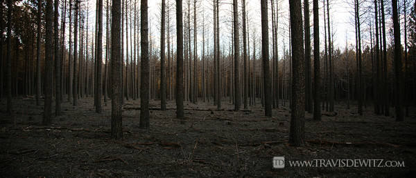 germann_road_forest_fire_straight_pine_trees