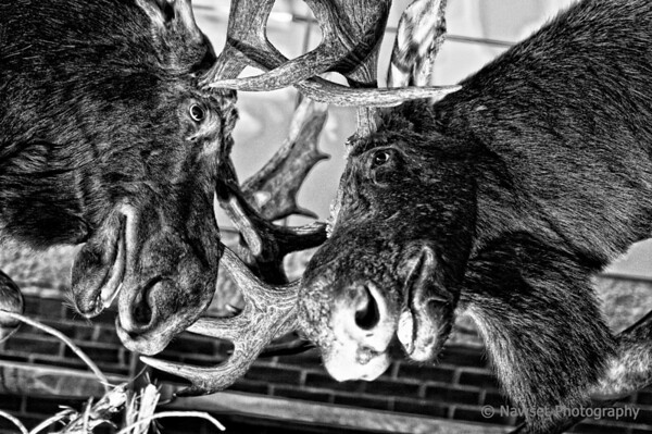 "No, Bullwinkles, No! (Day 361)<br /> <br /> An unplanned visit to the Manchester, NH airport today brought me face to face with an epic struggle for survival; two moose were having a little ""conversation"" near baggage carousel #5.<br /> <br /> (2009-12-31 8:43am)"