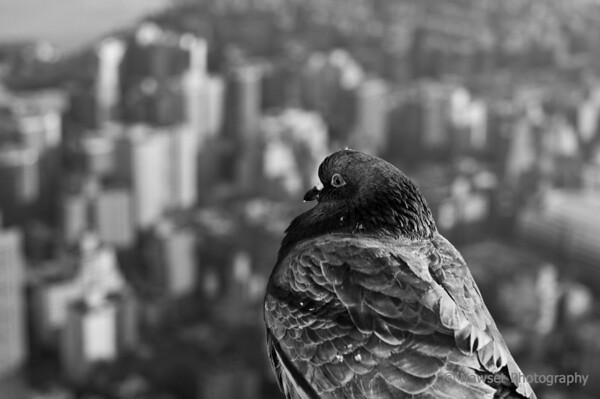 "Top Of The World Mom! (Day 336)  No, I didn't enlist a local pigeon for one of my dioramas.  This guy was hanging out on a ledge on the 86th floor of the Empire State Building.  The backdrop is midtown looking southeast.  To get back to the shot of the day, click <a href=""http://www.nawset.com/Shot-A-Day/Shot-A-Day-2009/7032225_oFapa#739870643_UbsLc"">here</a>.  (2009-12-06 3:24pm)"