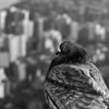 """Top Of The World Mom! (Day 336)  No, I didn't enlist a local pigeon for one of my dioramas.  This guy was hanging out on a ledge on the 86th floor of the Empire State Building.  The backdrop is midtown looking southeast.  To get back to the shot of the day, click <a href=""""http://www.nawset.com/Shot-A-Day/Shot-A-Day-2009/7032225_oFapa#739870643_UbsLc"""">here</a>.  (2009-12-06 3:24pm)"""