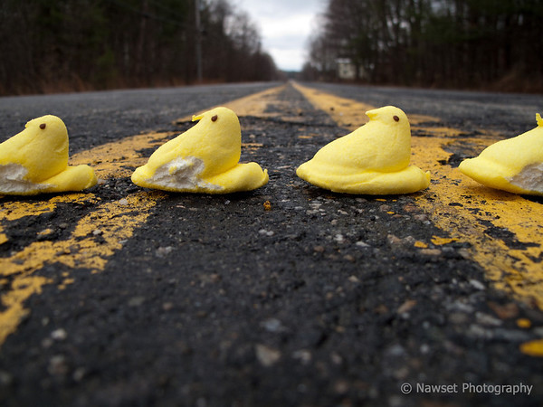 """Why Did The Chickens Cross The Road? (Day 97)  Has an Abbey Road feel doesn't it?  To return to yesterday's awesome Peep shot, click <a href=""""http://www.nawset.com/gallery/7032225_oFapa#510012818_fuXLy"""">here</a>.   (2009-04-11 8:11am)"""