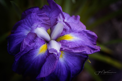 94/100 - Japanese Iris