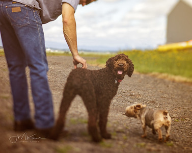 """90/100 - """"Tikka"""" - the chocolate poodle (I'm in Love)"""