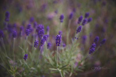 78/100 - Lavender