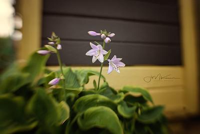 77/100 - Hosta Bloom