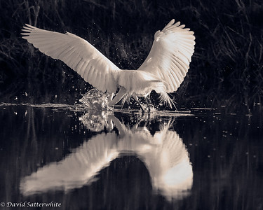 Great Egret Feeding