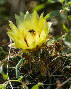 Prickly Pear Cactus Flower with Bee