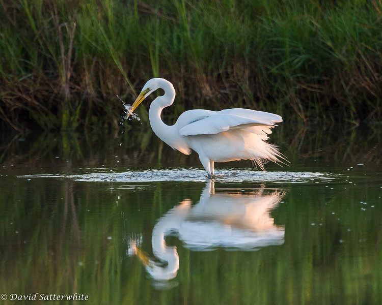 Great Egret with Breakfast