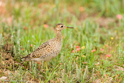 Upland Sandpiper - 5th Place All Other Shorebirds
