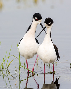 Black-necked Stilts - 1st Place Shore Birds 1