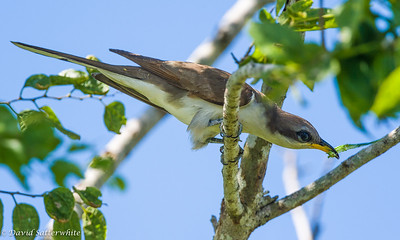 Yellow-billed Cuckoo dining on a caterpillar