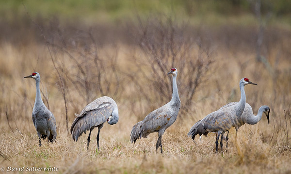Sandhill Cranes - 3rd Place Wading Birds 2