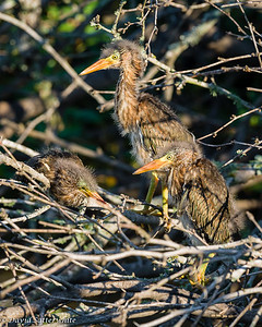 Green Heron Chicks