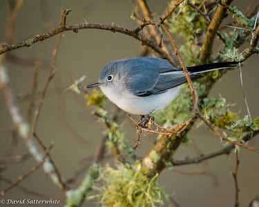 Blue-gray Gnatcatcher - 2nd Place Misc. Song Birds