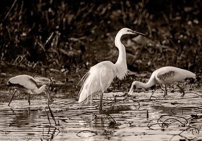 Sepia Toned Great Egret with Spoonbills
