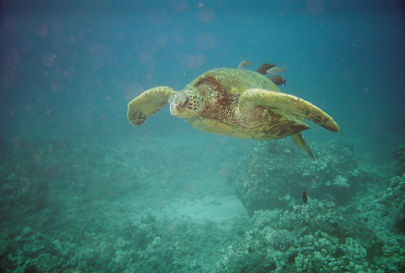 Tortue, Hawaï