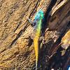 Joli caméléon, Afrique du sud
