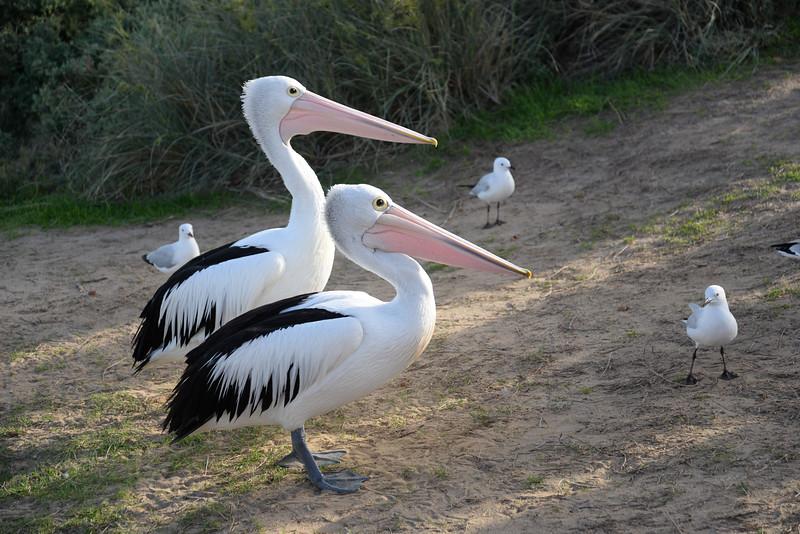 Kalbarri Pelicans