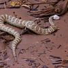 Cobra, sur la banquise de la rivière Colorado