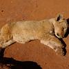Lionceau, refuge en Afrique du sud