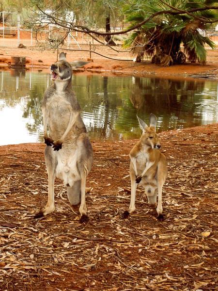 Kangoos, du côté de Cairns, Australie