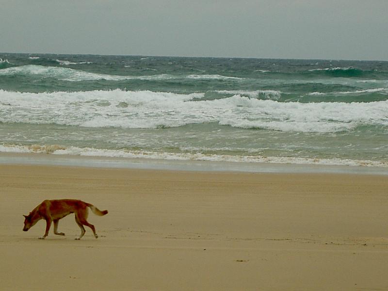 Dingo sur la plage, Ile de fraser, Queensland Australie