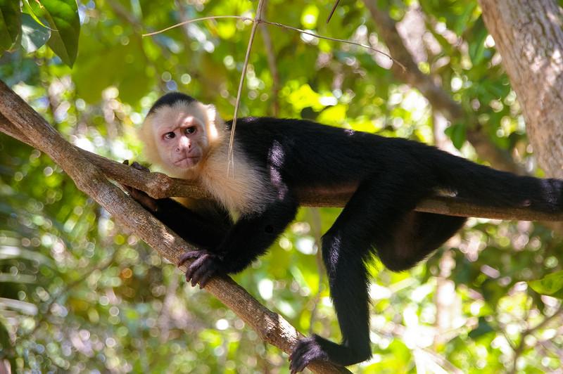 Singe, Costa Rica