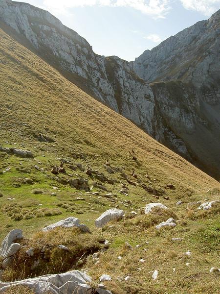 Bouquetins, le reculet, Jura