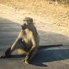 Babouin, Côte sud, Afrique du sud