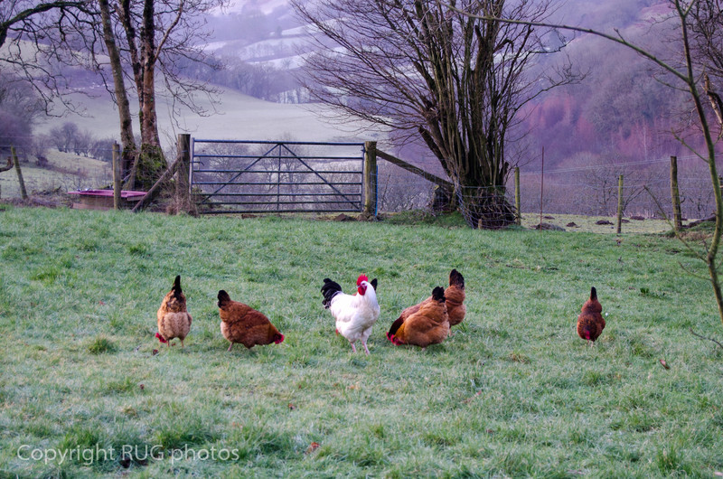 A supply of eggs was courtesy of the free range chickens.