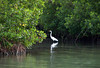 Great Egret (Ardea alba) - among the mangroves of Pinones Nature Reserve