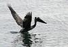 Brown Pelican (Pelecanus occidentalis) - taking flight