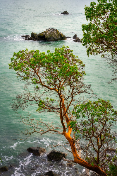 Madrone by the Sea