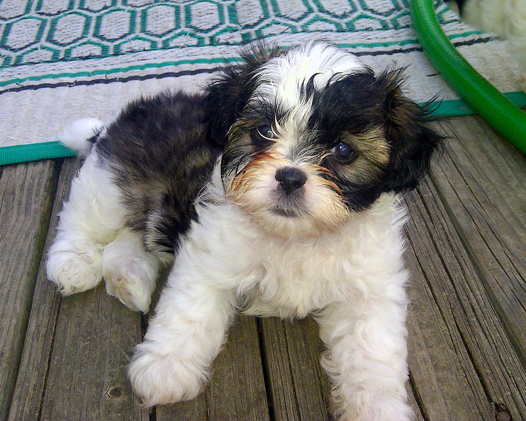 May 4, 2012 - Sweet Shih Tzu Baby Boy Puppy 7 weeks old. One of five in litter. All boys! Three of the five have black and/or brown around both eyes.