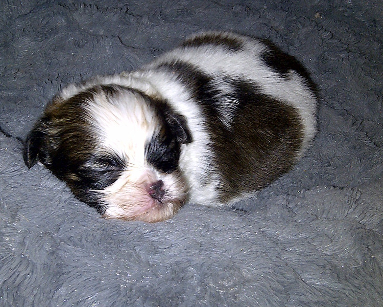 May 4, 2012 - Shih Tzu Baby Boy Puppy 5 weeks old in puppy bed.