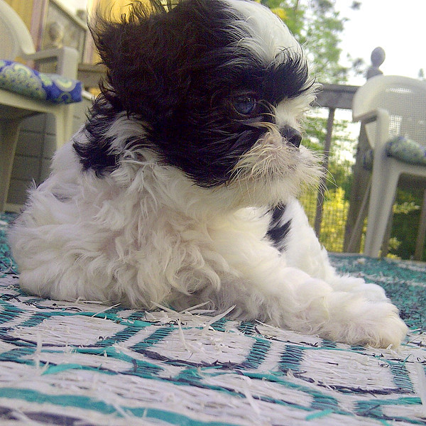 May 4, 2012 - Sweet Shih Tzu Baby Boy Puppy 7 weeks old. One of five in litter.  Profile on the deck.