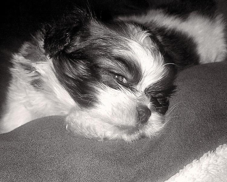 May 4, 2012 - Shih Tzu Baby Boy Puppy 5 weeks old in bed.  I disturbed his sleep.