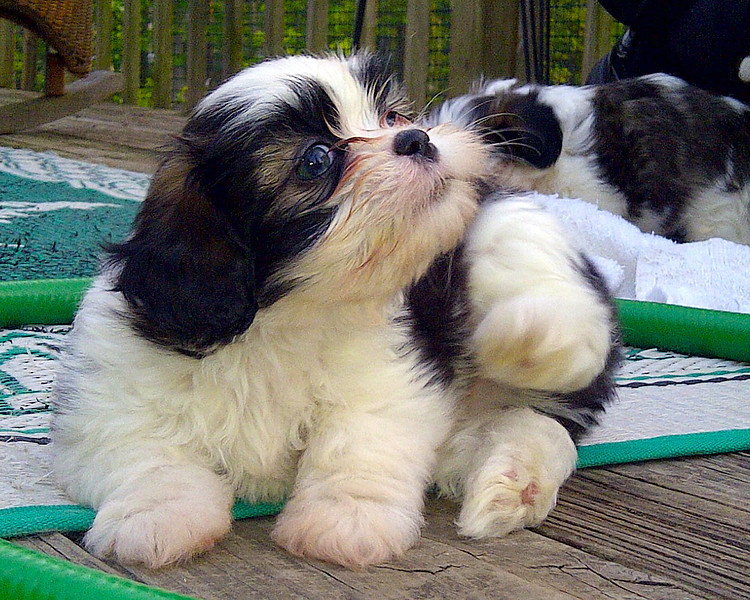 May 4, 2012 - Sweet Shih Tzu Baby Boy Puppy 7 weeks old. One of five in litter.  All boys!