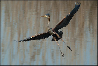 Purple Heron ( Ardea purpurea )  Parco Oglio Sud ( Mn ) - Italy  Giuseppe Varano - Nature and Wildlife Images - Birds and Nature Photography