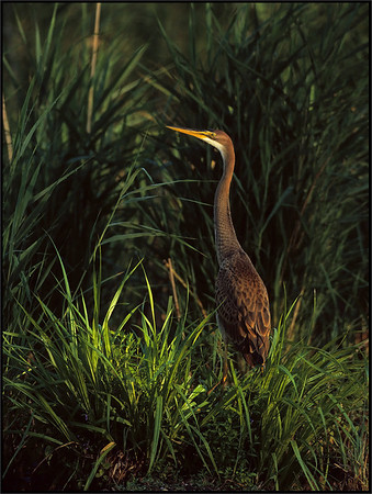 Purple Heron ( Ardea purpurea )  Isola de Pinedo ( PC ) - Italy  Giuseppe Varano - Nature and Wildlife Images - Birds and Nature Photography