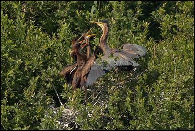 Purple Heron ( Ardea purpurea )  Parco Oglio Sud ( Mn ) - Italy  Giuseppe Varano - Nature and Wildlife Images - Birds and Nature Photography