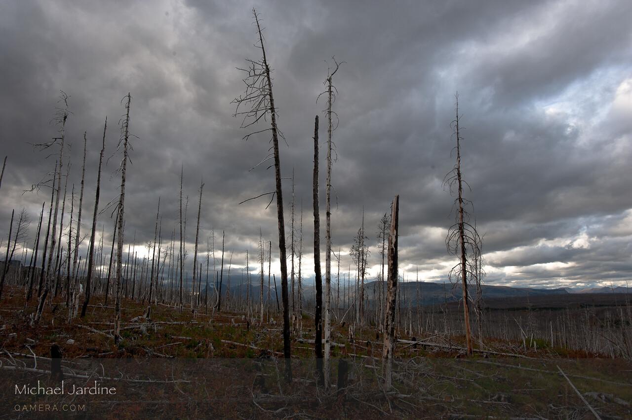 Burnt forest, East Glacier