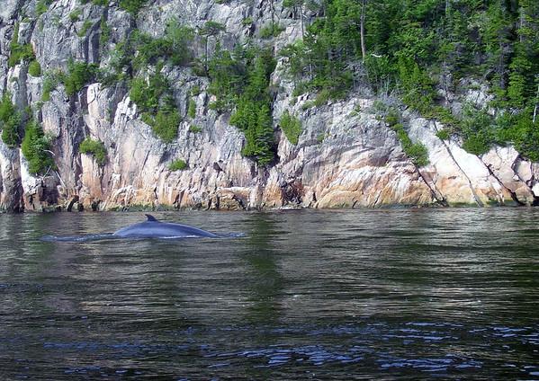 Minke Whale - in the Saguenay River - Saguenay Fjord National Park - Quebec
