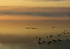 Sunrise fog on the waters of the Saguenay River and Canada Geese - Quebec province.