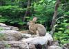 Eastern Cottontail Rabbit (Sylvilagus floridanus) - Grand Garden National Park - Quebec