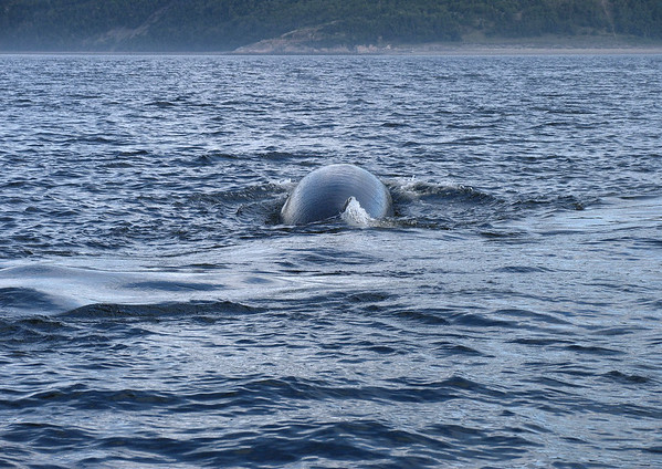 Minke Whale - in the Saguenay River