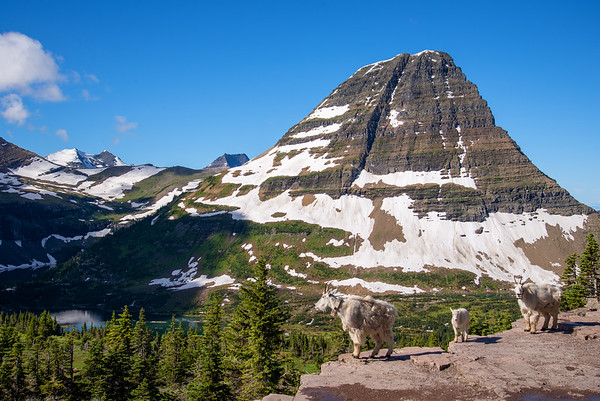 A family of mountain goats pose in front of Bearhat Mountain in Glacier National park in Montana.